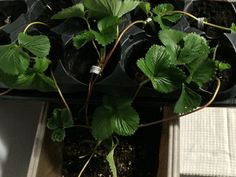 Propagating new strawberry plants from runners - attached to main plant until new roots or buds begin-2-3 weeks-then snip runner from 'mother' plant.  Just brought them indoors bec it's approx 50 degrees out now 9/28/15.   Stay tuned ....