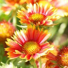 Blanket Flower- one of my favorite perennials http://media-cache0.pinterest.com/upload/47147127319182197_GygWMShc_f.jpg dforster gardens gardening