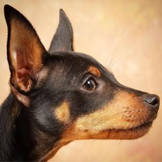 Awesome pinschers information is available on our internet site. Read more and you will not be sorry you did. Mini Pinscher, Miniature Pinscher, Doberman Pinscher, Corgi Chihuahua Mix, Min Pin Dogs, Pincher Dog, Best Small Dogs, Pet Halloween Costumes, Rat Terriers