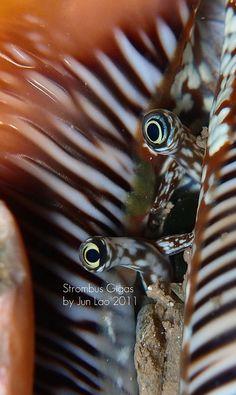 conch eyes  -  conque - mollusque marin tropical avec une coquille en spirale qui peut porter de longues projections et avoir un rebord évasé