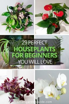 29 beautiful houseplants for beginners that will make you want to fill your home with more plants. I've picked my favorite easy to care for plants that are ideal for beginners. Whether you're looking for flowering plants, those with interesting foliage, large or small houseplants, I think I've got most things covered in this article. Indoor Flowering Plants, Blooming Plants, Smart Garden, Garden Guide, Low Lights, Houseplants, Planting Flowers, Fill, Easy