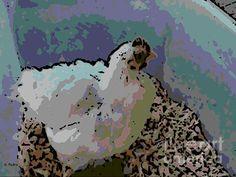 White Cochin