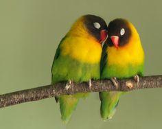 Yellow-collared Lovebird Couple.