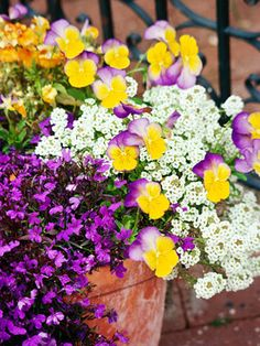 What could be prettier than this combination of 'Riviera Midnight' lobelia, 'Yellow Frost' viola, and white sweet alyssum? These beauties are the perfect way to start the gardening season.