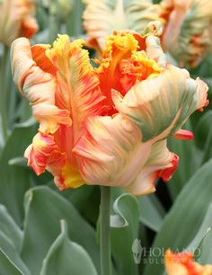 Apricot Parrot Tulip from hollandbulbfarms.com