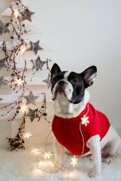 Boston Terrier at Christmas Merry Christmas Wishes, Christmas Star, Christmas Animals, Christmas Tree Ornaments, Christmas Pets, Baby French Bulldog, French Bulldogs, Beautiful Christmas Scenes, Boho Deco