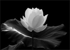 White lotus flower tattoo meaning