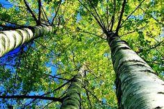 Brzozy w ogrodzie Birches, Tree Art, Aspen, Wind Turbine, Canopy, Birch Trees, Ocean, Leaves, Toyota