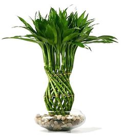Lucky Bamboo, easy to make gifts with great vibes
