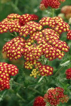 Achillea millefolium 'Strawberry Seduction' PP18401 (Common yarrow) - Perennial - Zones 4-8, Height 18-24 in. Rich, strawberry-red flowers are accented by a vivid golden-yellow center, taking on a yellowish cast as they mature. Thick, dark green foliage is fragrant and densely arranged on sturdy stems. Rigid, upright habit, long bloom period and very drought tolerant.