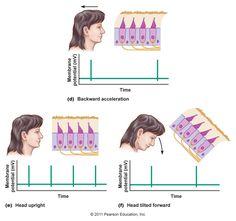 Ear Diagram, Vestibular System, Medical School, Physiology, Studying, Anatomy, Medicine, Science, Education