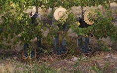 Some regional info including grape varieties and local flavor.  www.Vino-Bello.com