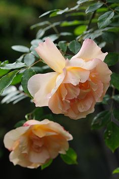 Hybrid Species Rose: Rosa 'Fortune's Double Yellow' (U.K., 1844)