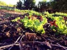 Lettuce in healthy soil