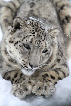 Snow Leopards Love Snow, what else can I say?