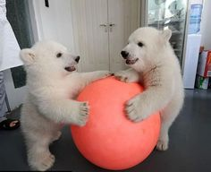polar bear cubs playing with a ball
