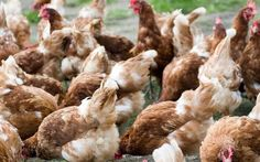 Antibiotic resistant E.coli found in a quarter of supermarket-bought chicken