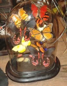 mounted butterflies in glass dome. www.demuseumwinkel.com