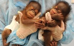 baby orangutans wearing diapers