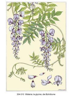 Wisteria - Grasset's art Nouveou Floral Ornamentation