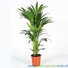 Kentia Palm (Howea Forsteriana) 5pp kopen