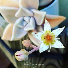 『愛娘❁花盛り』 ヤサくれた我が家の多肉植物に花が咲いた��母娘似ててかわいい♡ あぁ、なんだろすごく新鮮で嬉しい気持ちになった✨ * #エケベリア#多肉植物 #多肉の花 #蕾#母娘 #Echeveria#Succulent#Succulents#succulentflower #bud#japan_daytime_view#loves_nippon_portrait#igers#all_shots#instacool#photo#Japan#loves_nippon#iphone6 #instadaily#webstagram#キタムラ写真投稿#ファインダー越しの私の世界#写真好きな人と繋がりたい#nature http://gelinshop.com/ipost/1518600849633796469/?code=BUTJ21GB2F1