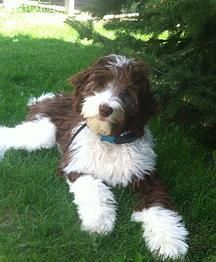 chocolate and white goldendoodle Australian Labradoodle, Sheepadoodle Puppy, Goldendoodles, Cute Puppies, Dogs And Puppies, Adorable Dogs, Baby Puppies, English Sheepdog Puppy, Animals