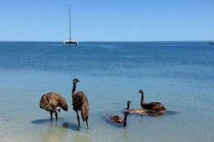 Emus cooling down at the beach at Monkey Mia, Western Australia! You wouldn't normally see emus in or near the ocean but it's been exceptionally HOT here of late.