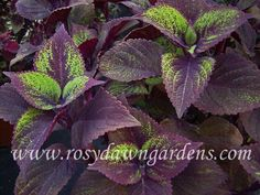 "Coleus 'Jungle Love' (medium-large 16""-24""; upright)  Purple leaves artfully stippled with chartreuse.  Understated and beautiful, perfect for a calm presence in a wild container planting.  Sun tolerant.    $4.75"