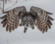 Yesterday I spent about 6 hours with a pair of great grey owls and watched them hunt voles all day ! Temperatures were very cold so these owls are very hungry . He must have caught at least 6 voles . Here is a capture of him flying toward me as he was heading to a tree to land on by me . Was worth freezing my toes off in -30 Celsius watching them and capturing them in action ! More to come ! Feel free to Share. Famous Amos Photography with Jodie Dukes Stahl in Tumbler Ridge. Famous Amos, Great Grey Owl, Very Cold, Very Hungry, Bird Species, Bird Feathers, Beautiful Creatures, Owls, At Least