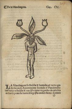 Mandragora, 1536, Jacobus Dondis, Herbolario volgare, nel quale se dimostra a conoscer le herbe et le sue virtu, Francesco di Alessandro Bindoni y Mapheo Pasini, Venecia, P. 105