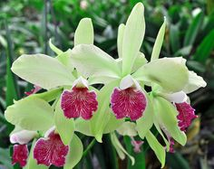 (Lc. Ann Follis x Encyclia aromatica) 'Lenette #1' | Flickr - Photo Sharing!