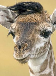 Photographic Print: Young Masai Giraffe (Giraffa Camelopardalis Tippelskirchi) in the Masai Mara Game Reserve, Kenya by Joe McDonald : Jungle Animals, Baby Animals, Funny Animals, Cute Animals, Wild Animals, Giraffe Art, Cute Giraffe, Masai Giraffe, Giraffe Drawing