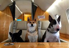 Photo of Matc Jacobs dog Neville and his buddies enroute to St. Barth's (photo by Marc Jacobs)