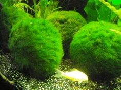 Marimo Moss Balls - made of algae, prefers cooler water and shade, needs to be squeezed out in tank water occasionally, shrimp love to sit on and under it, may infect your tank with Cladophora algae which is extremely hard to remove, place in the front or float, it should float at first and sink over time, very slow growing, split in half to grow another one (you have to tie them or roll them to get the new ones round again)