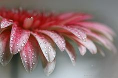 AS SPRING RAIN - Flor de Gerbera roja Red gerbera flower