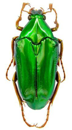 Chrysina costata (Blanchard, (Scarabaeidae) Mexico, Xicotepec de J. 1998 A titan beetle Beetle Insect, Beetle Bug, Insect Art, Cool Insects, Bugs And Insects, Amphibians, Mammals, Vans Vw, Cool Bugs