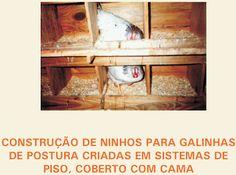 GALINHA HOJE: Construção de Ninhos