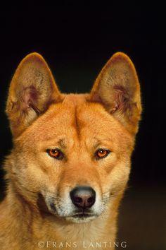Dingo - An australian Wolf? Australian Dog Breeds, Australian Animals, Dogs And Puppies, Doggies, Cute Animals, Wild Animals, Wild Dogs, Beautiful Dogs, Pet Birds
