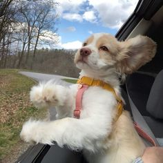 Cute Little Animals, Cute Funny Animals, Cute Dogs And Puppies, I Love Dogs, Doggies, Baby Animals Pictures, Animals And Pets, Cockerspaniel, Cute Creatures