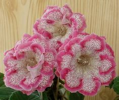 gloxinia arrived from Brasil in century
