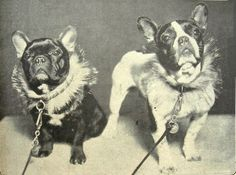 French Bulldogs, vintage collars.