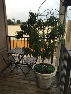 Burbank July Elberta peach tree grown in a container via Kalena B. | #starkbros customer photo