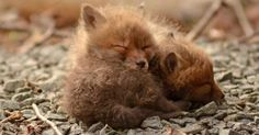Baby fox cubs are the cutest little things :)