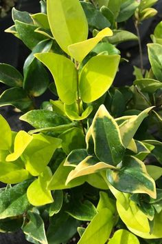 (Ligustrum Japonicum) is a fast growing, medium-size, broadleaf evergreen shrub or tree with shiny, waxy, black-green leaves and white clusters of fragrant flowers. Fast Growing Trees, Growing Plants, Easy To Grow Houseplants, Perfect Plants, Evergreen Shrubs, Yellow Leaves, Live Plants, Hedges, Perennials