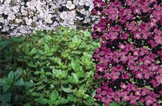 Low maintenance ground cover
