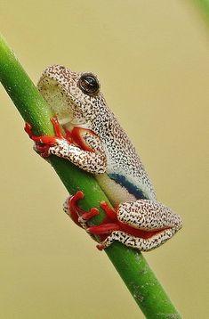 Botswana Reed Frog ~ By Susan Roehl