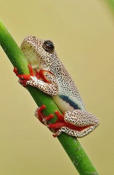 Success breeds success in mating male Marbledreed frogs A beautiful shot of a Marbled reed frog or Painted reed frog, Hyperolius marmoratus...