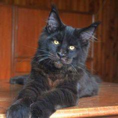 One gorgeous cat...wishing you were mine...
