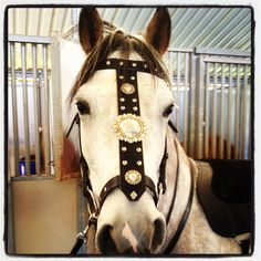 Custom bridle - I would have put the biggest concho on the horse's forehead rather than halfway down the face Horse Bridle, Horse Gear, Horse Saddles, Western Tack, Western Riding, Horse Riding, Medieval Horse, Horse Costumes, Majestic Horse